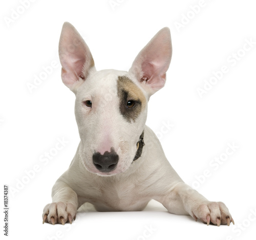 Stampa su Tela Bull Terrier puppy, 5 months old, in front of a white background