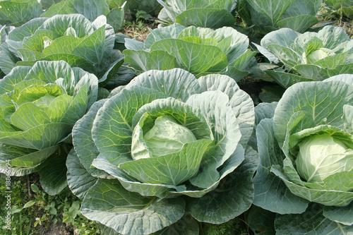 Fotografía Cabbage