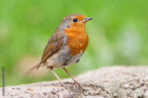 Photo Robin perched on wall with green backround
