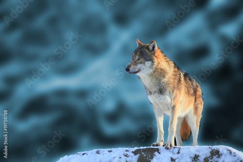 Wolf #19758788