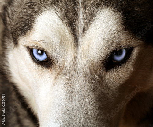 Canvas Print Close view of blue eyes of an Husky or Eskimo dog.