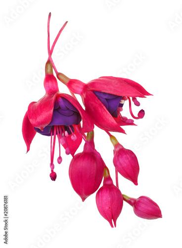 Fotografie, Tablou fuschia flower (fuschia hybrida)