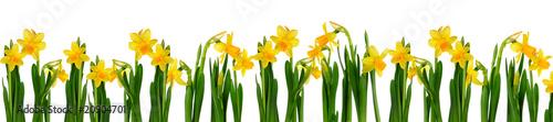 Daffodils #20904701