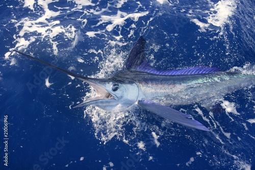 Canvas Print Beautiful white marlin real billfish sport fishing