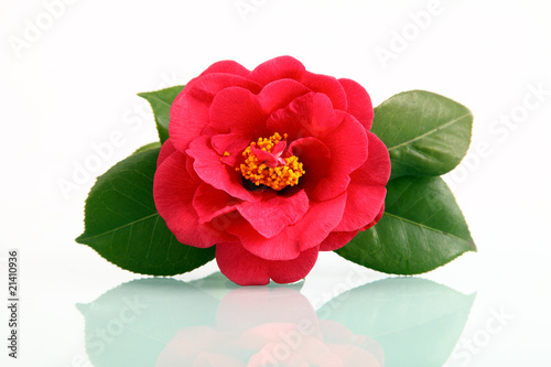 Fotografering A red flower - camellia with reflection