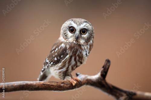 Obraz na plátně Curious Saw-Whet Owl against blurred background.