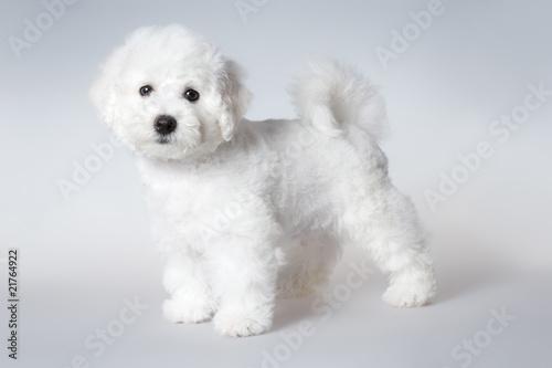 Billede på lærred bichon puppy
