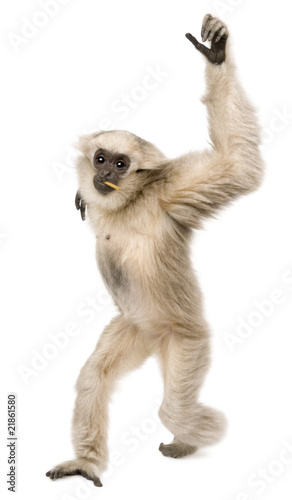 Canvas-taulu Front view of Young Pileated Gibbon, 1 year old, walking