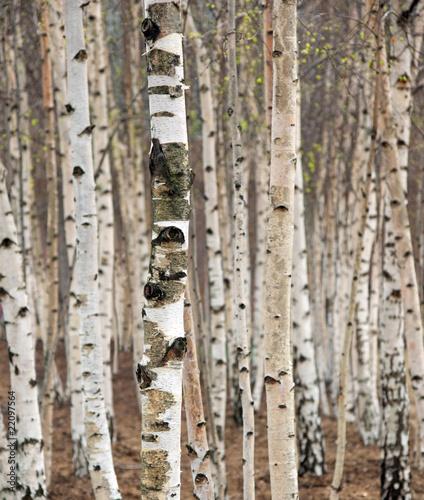 Birch trees in spring #22097564