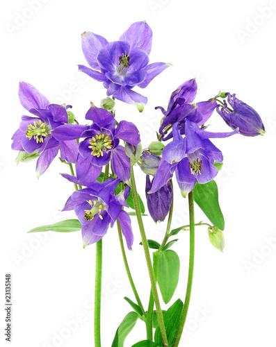 Stampa su Tela blue columbine - aquilegia flowers isolated