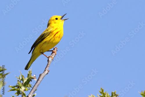Fotografie, Obraz Yellow Warbler (Dendroica petechia) Singing