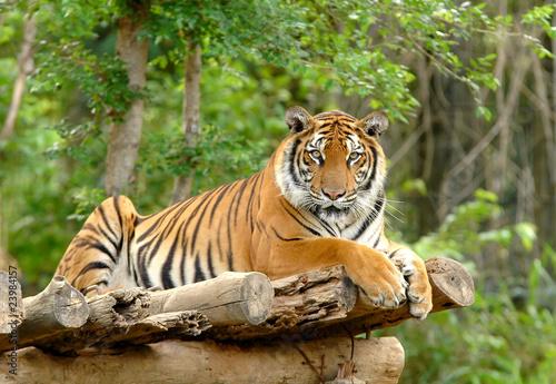 bengal tiger Fototapet
