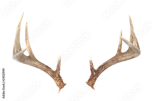 Fotografia Whitetail Deer Antlers