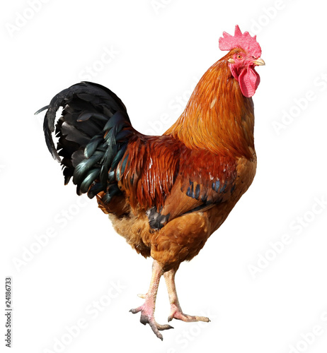 Wallpaper Mural Cock isolated on a white background