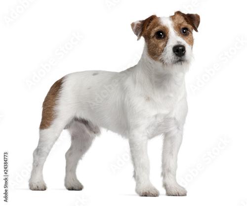 Obraz na plátně Jack Russell Terrier, 15 months old, standing