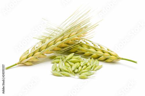 Fotografia, Obraz espigas de cebada en fondo blanco