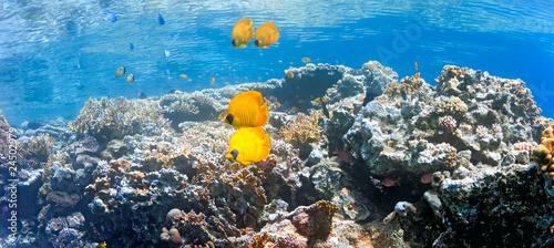 Coral scene - panorama #24502979