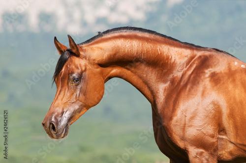 bay arabian stallion portrait #24626521