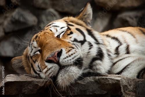 Canvas Print sleeping tiger
