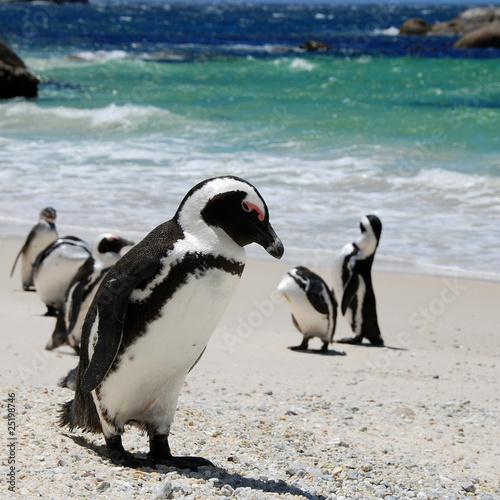 Canvas Print penguin