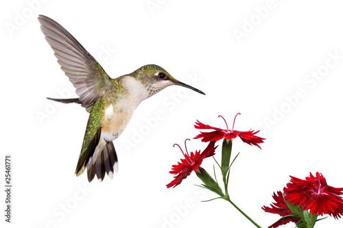Stampa su Tela hummingbird and three dianthus