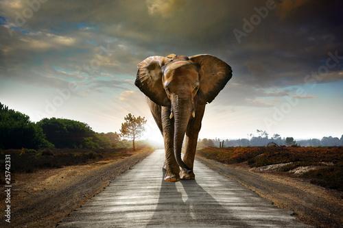 Fototapeta Spacerujący słoń w czasie zmierzchu na wymiar