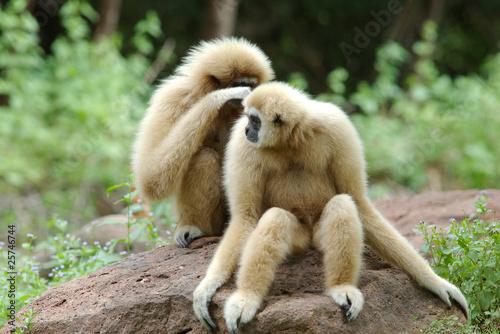 Valokuva Gibbons