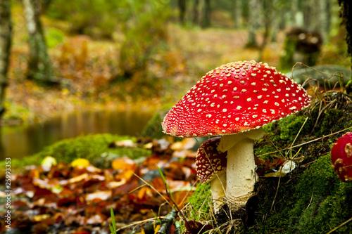 Obraz na płótnie Amanita poisonous mushroom
