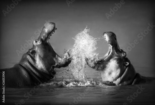 Hippo's fighting