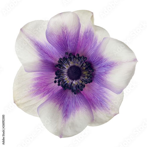 Stampa su Tela anemone