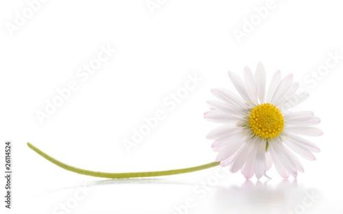 daisy flower Fototapet