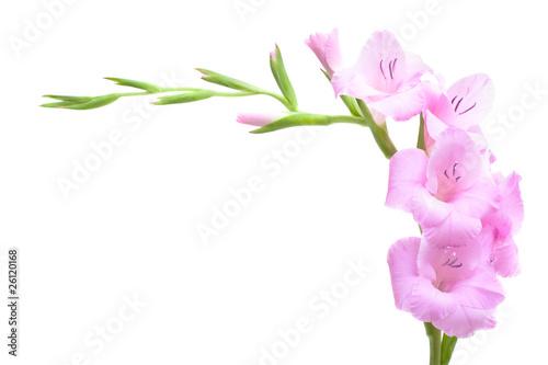 Photo Pink gladiolus isolated on white