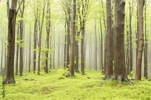 Fotografia Spring beech forest on the mountain slope