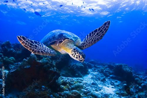 Canvas Print Green Seaturtle swimming over the reef in Pulau Sipadan
