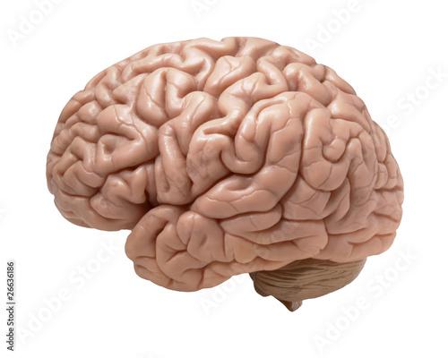 Foto human brain on white background