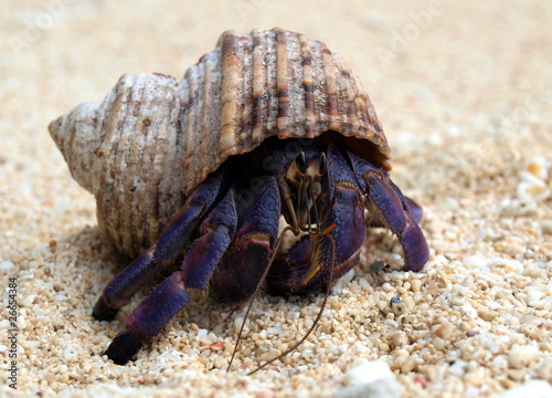 Fotografie, Tablou Purple Hermit Crab
