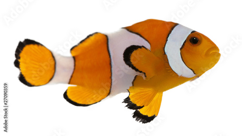 Vászonkép Clownfish, Amphiprion ocellaris, in front of white background
