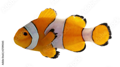 Leinwand Poster Clownfish, Amphiprion ocellaris, in front of white background