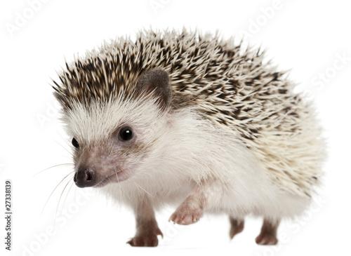 Canvastavla Four-toed Hedgehog, Atelerix albiventris, 2 years old, walking