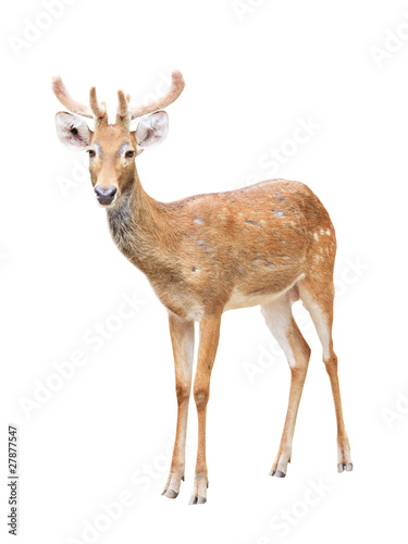 Photo Cute sika deer at a zoo isolated on white