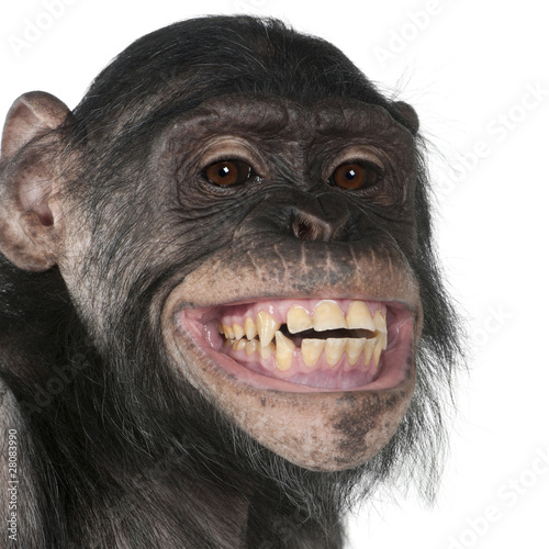 Fototapeta Close-up of Mixed-Breed monkey between Chimpanzee and Bonobo