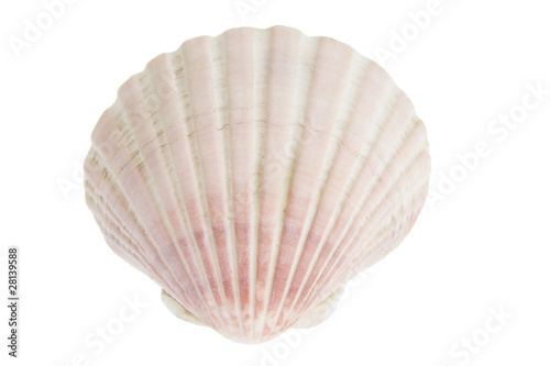 Fotografía Scallop Seashell