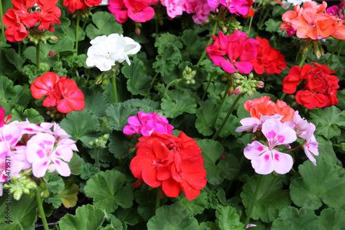 fleurs de géranium pélargonium