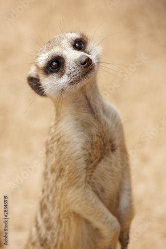 Obraz na płótnie Inquisitive suricate