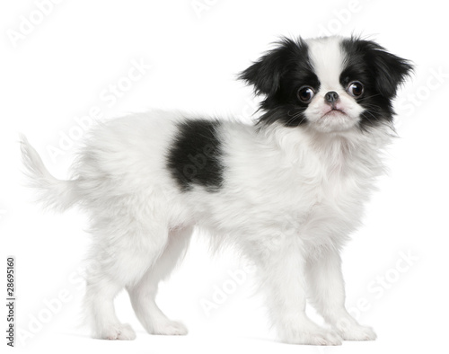 Fototapeta Japanese Chin puppy or Japanese Spaniel, 3 months old, standing
