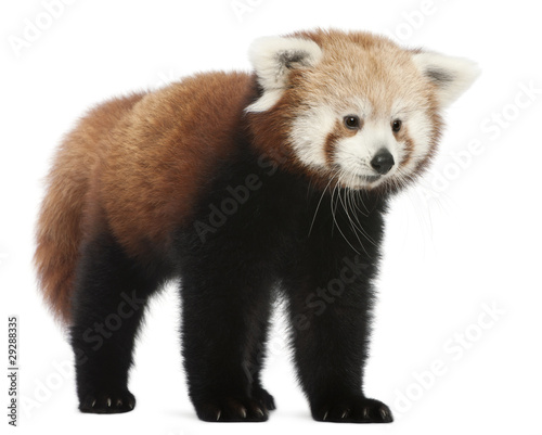 Obraz na płótnie Young Red panda or Shining cat, Ailurus fulgens, 7 months old