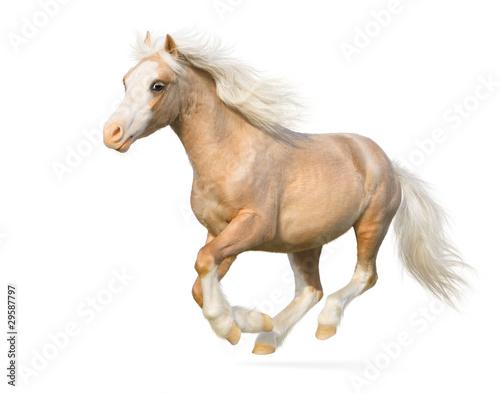 Obraz na płótnie Welsh pony gallops
