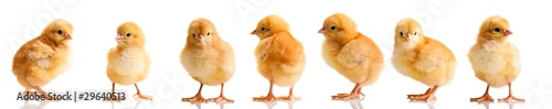 Photo Chickens in differens poses isolated on white
