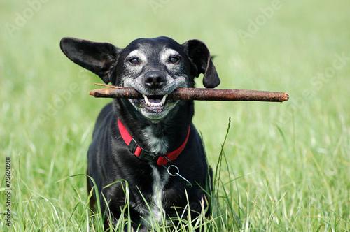 Canvas Print Alter Hund mit Stock