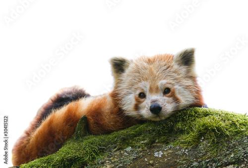 Red Panda Ailurus fulgens  isolated Fototapeta
